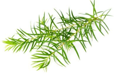 The power ingredient of Tea Tree. Why it's staple in our beauty regime